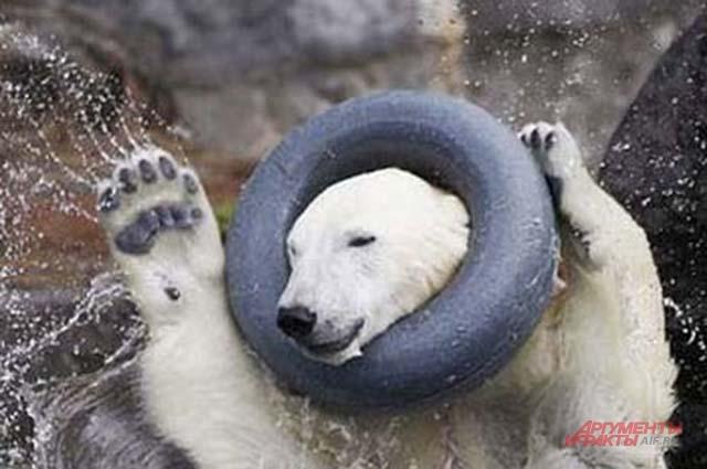 Медведь Алтын застрял именно в этом колесе своей любимой игрушке