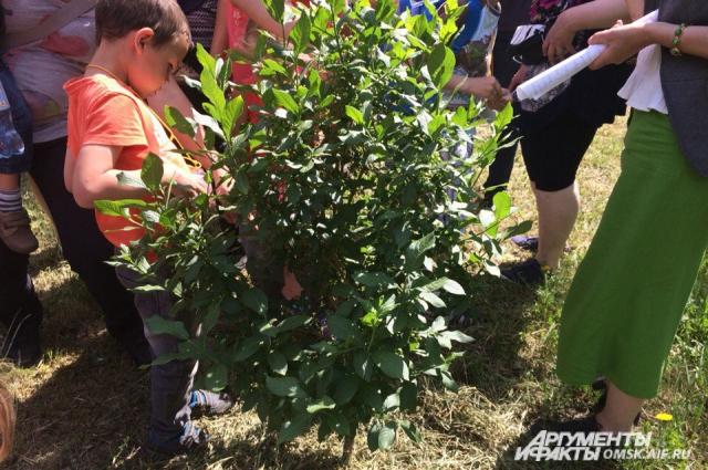 Люди прозвали дерево «ведьминым» потому, что оно имеет необычную форму.