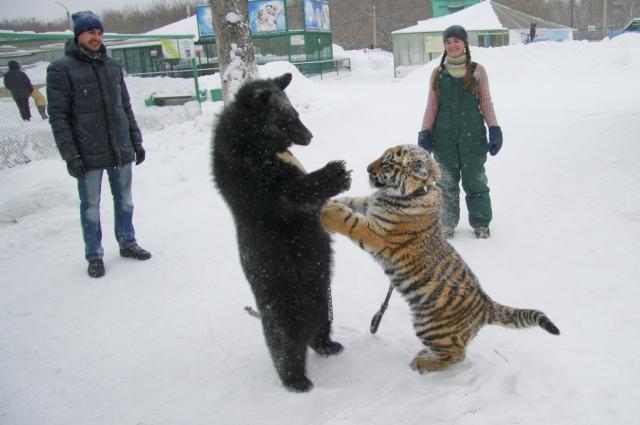 Игры медвежонка Жоры с тигрицей Багирой