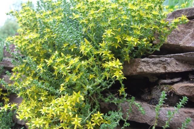 Почвопокровные растения хорошо сочетаются с камнем.