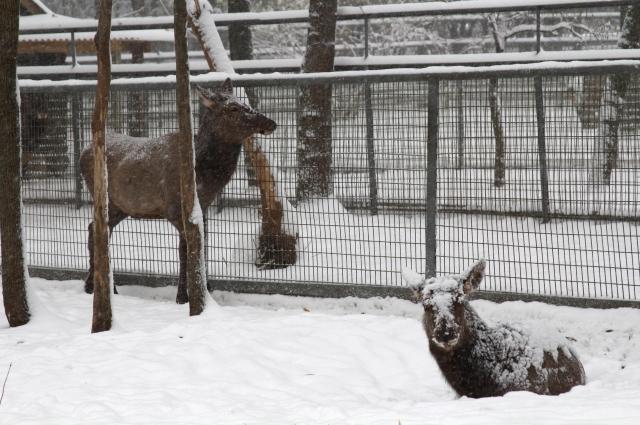 Все копытные переодевают шубку к зиме.