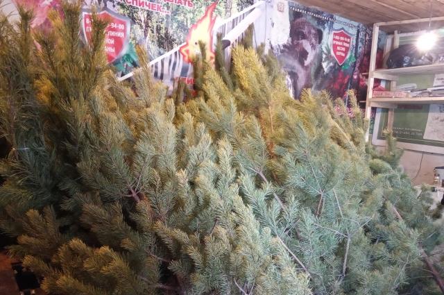 Саргатский лесхоз заготовит к Новому году около 2000 сосен.