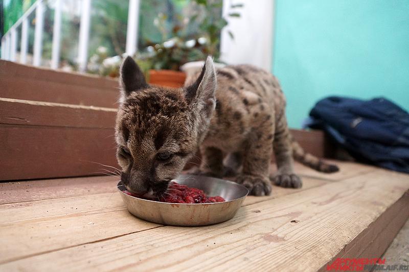 Через два месяца Мия окрепла и ее перевезли в пермский зоопарк.