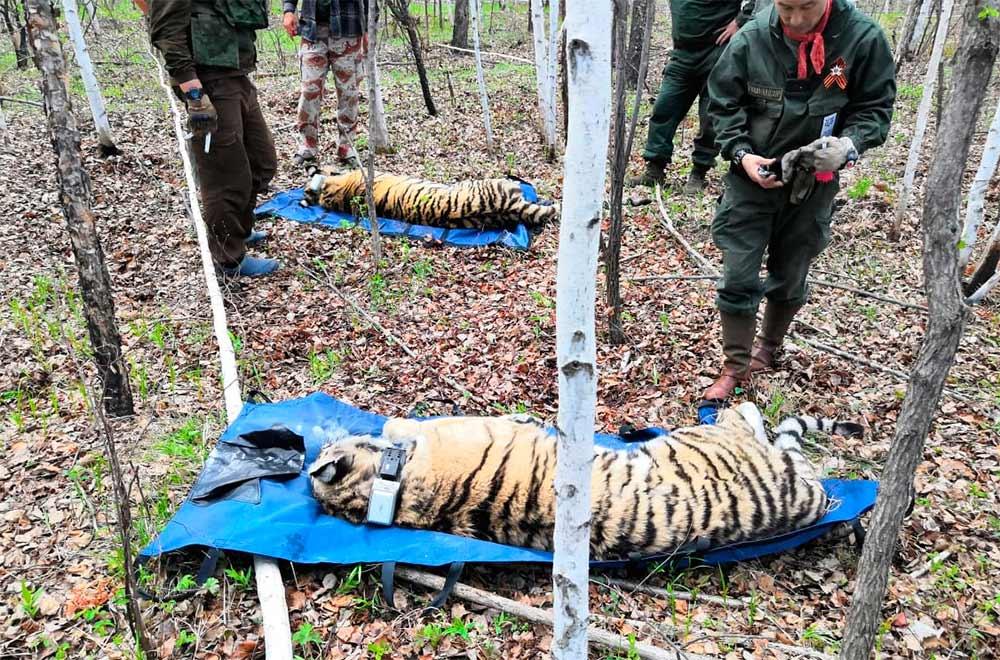 На время переноса из клеток в вольеры тигров усыпляют