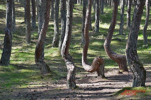 «Пьяный» лес