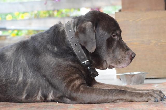 Цезарь — собака породистая, но это не помешало его бывшему хозяину предать пса.