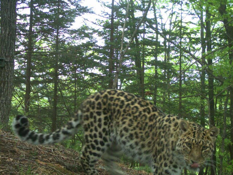Леопард Валера.