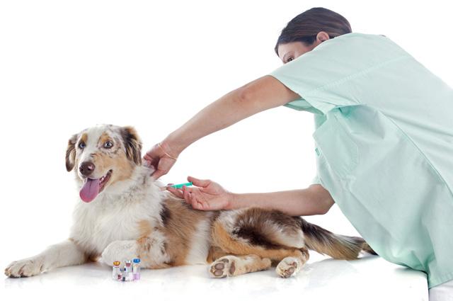 собака, прививка