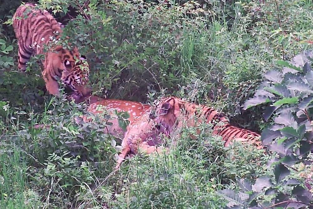 Оба тигра прекрасно охотятся, без труда добывают взрослых оленей и кабанов