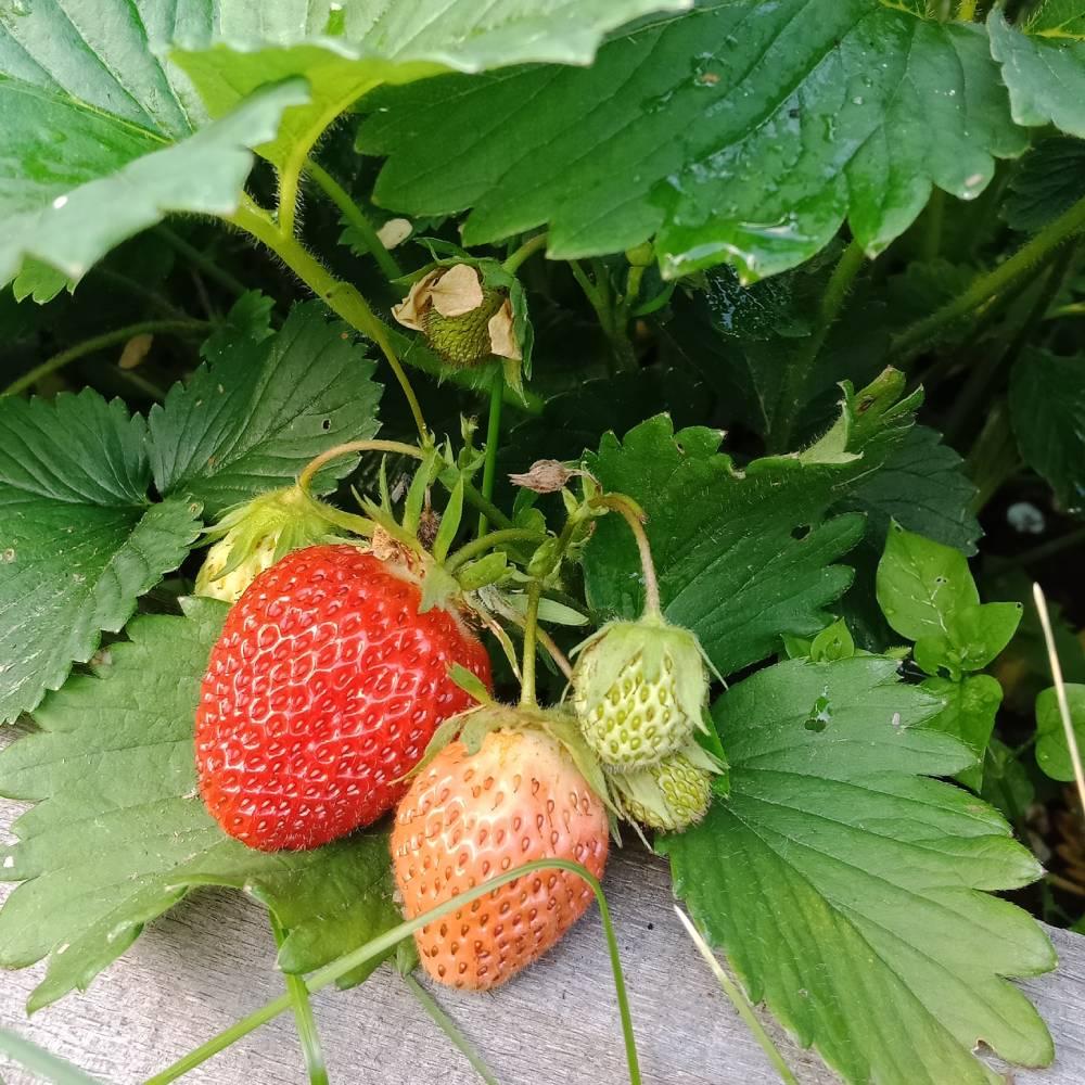 Крупные ягоды земклуники Раиса.