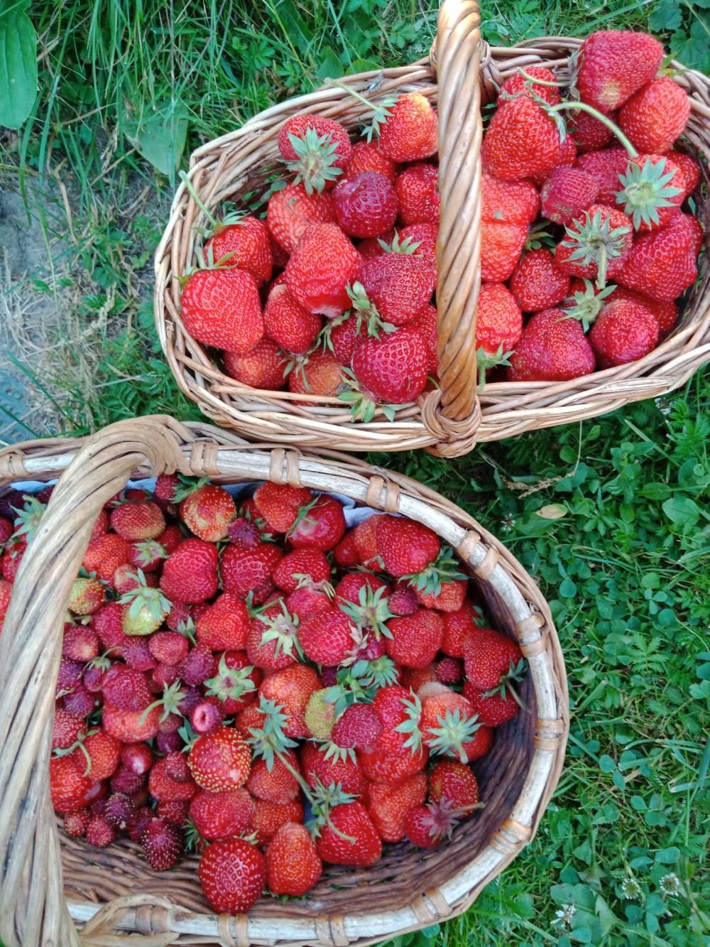Для быстрой заморозки собирайте ягоды вкорзины, они неуспеют дать сок.