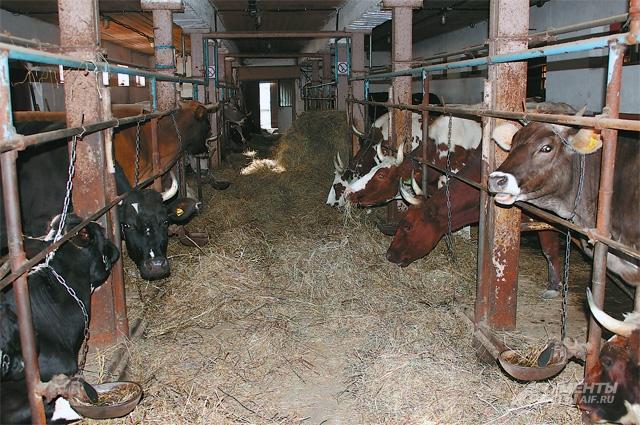 Коровы Натальи едят только сено - никаких добавок и комбикормов.