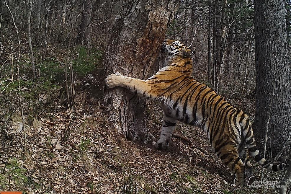 Тигрица Кия будто знает, что её фотографируют