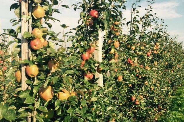 Саженцы из питомника дают урожай уже на следующий год после посадки.