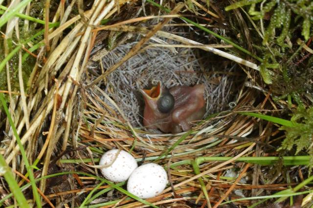 Фото птенца глухой кукушки. Ему 1 сутки (после вылупления) и он вытолкнул уже все яйца вида-хозяина – тусклой зарнички.