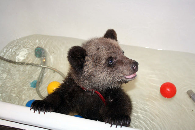Ефремовы вырастили в квартире медведя Валика