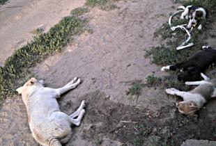 Есть активисты, которые специально травят собак. Однако от их действий погибают не только о бездомные животные, но и домашние.