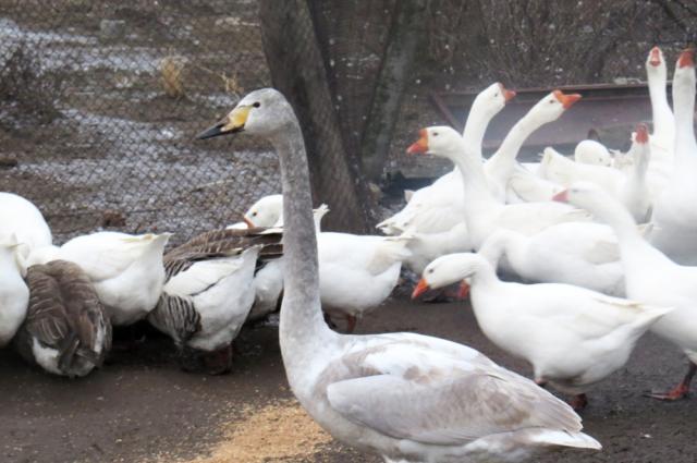 Лебедя прозвали Гусенком.