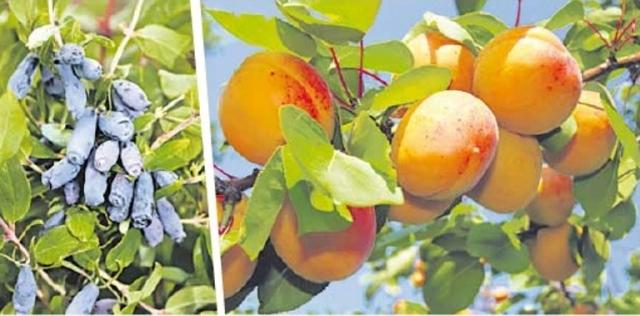 Жимолость и абрикосы стали привычными на участках южноуральских садоводов благодаря селекционным разработкам компании.