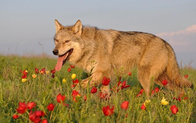 Взрослую Альму с собакой спутать уже сложно - она выглядит, как настоящий волк.