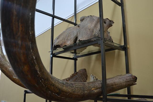 6-    Бивень мамонта мог весить до 100 кг. Для древних людей он был сырьём для изготовления жилья, оружия, утвари и предметов искусства.
