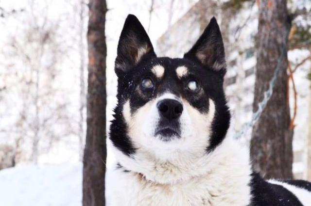 Лель – «избитыш». Пса нашли в коттеджном поселке Мичуринский, в жутком состоянии. Кто-то избил его лопатой, а затем выкинул на ближайшую помойку. Несмотря на слепоту, пес быстро привыкает к окружающему пространству.