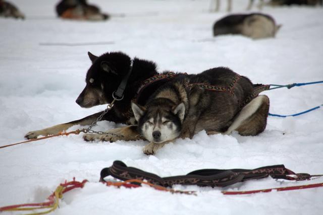 Берингия, гонка на собачьих упряжках