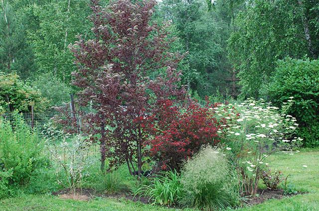 Черёмуха виргинская в саду.