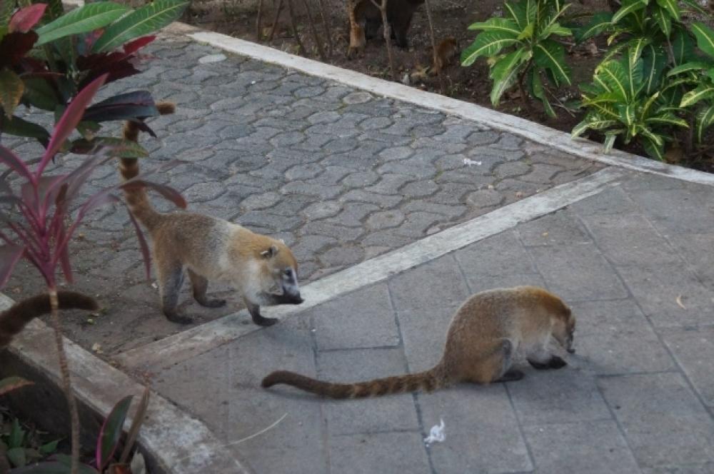 Этих зверушек называют коати - посетители парка их постоянно подкармливают.