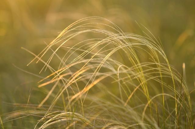 Ковыль - исконно степное растение.