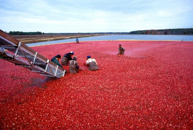 Отлаженный процесс выращивания клюквы в Америке.