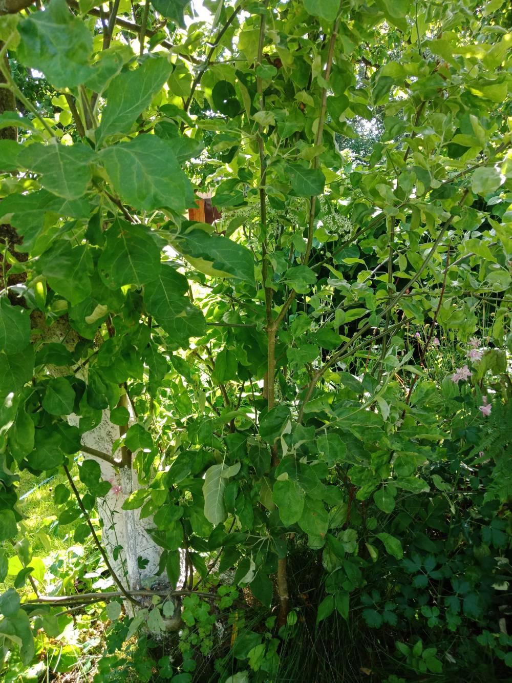 Корневая поросль портит внешний вид и расходует нужные растению питательные вещества.