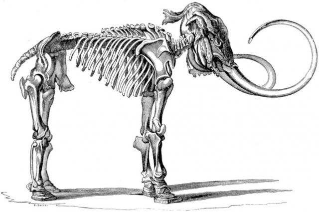 Рисунок скелета мамонта, найденного Адамсом.