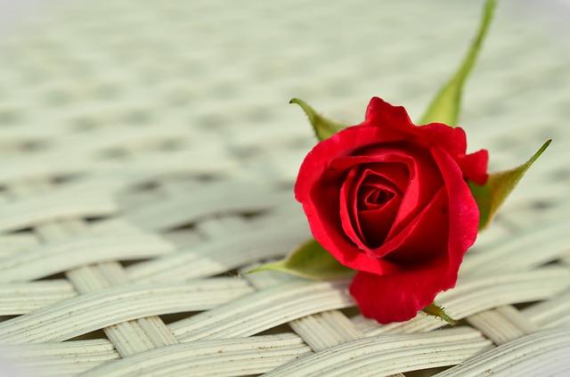 роза, цветок