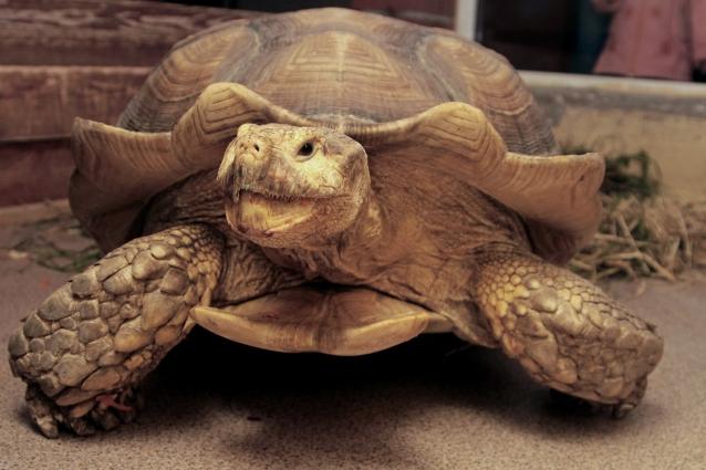 Зоомистер-2017: шпороносная черепаха Чак.