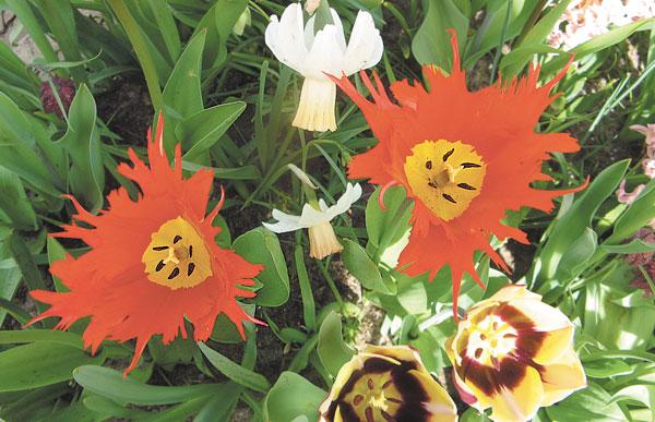 Суперновинка эксклюзивные сорта с сильно изрезанным краем цветка, как сорт Лео Leo . Возможно, это будет новая садовая группа