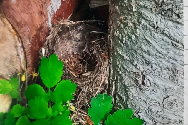 Гнездо у избушки.