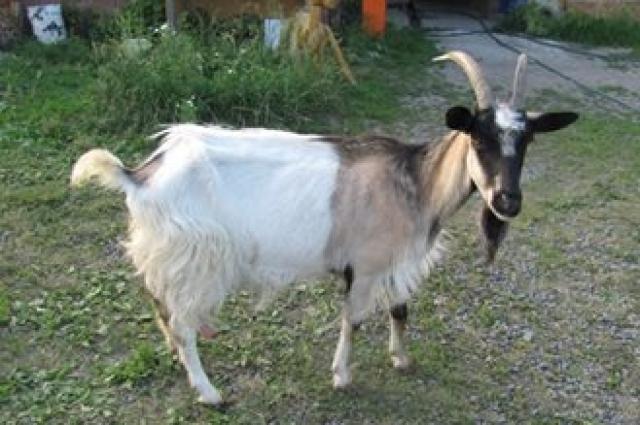 Коза, вскармливающая Машу.