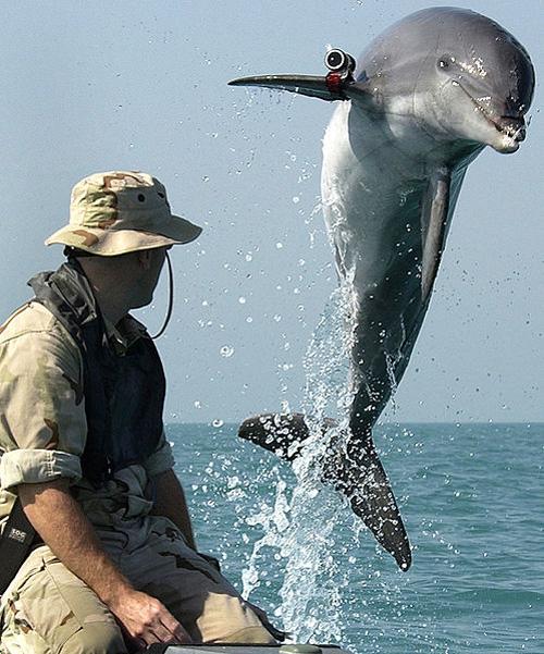 Боевой дельфин программы U.S. Navy Marine Mammal Program по кличке KDog, выполняет разминирование в Персидском заливе во время войны в Ираке