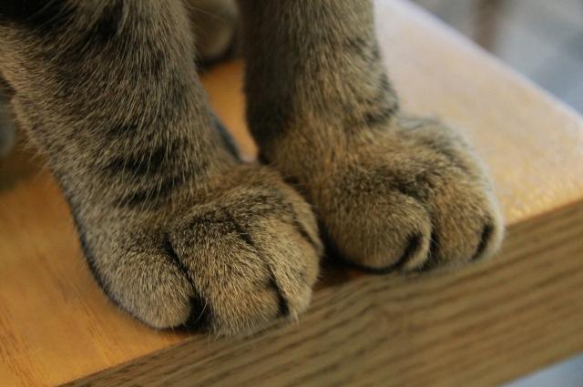 Чтобы кошка не царапалась, ей удаляют фаланги.