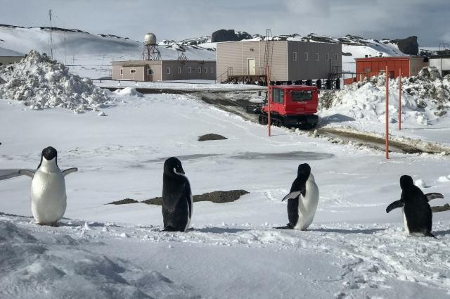 Соседями  ученых в Антарктиде были пингвины