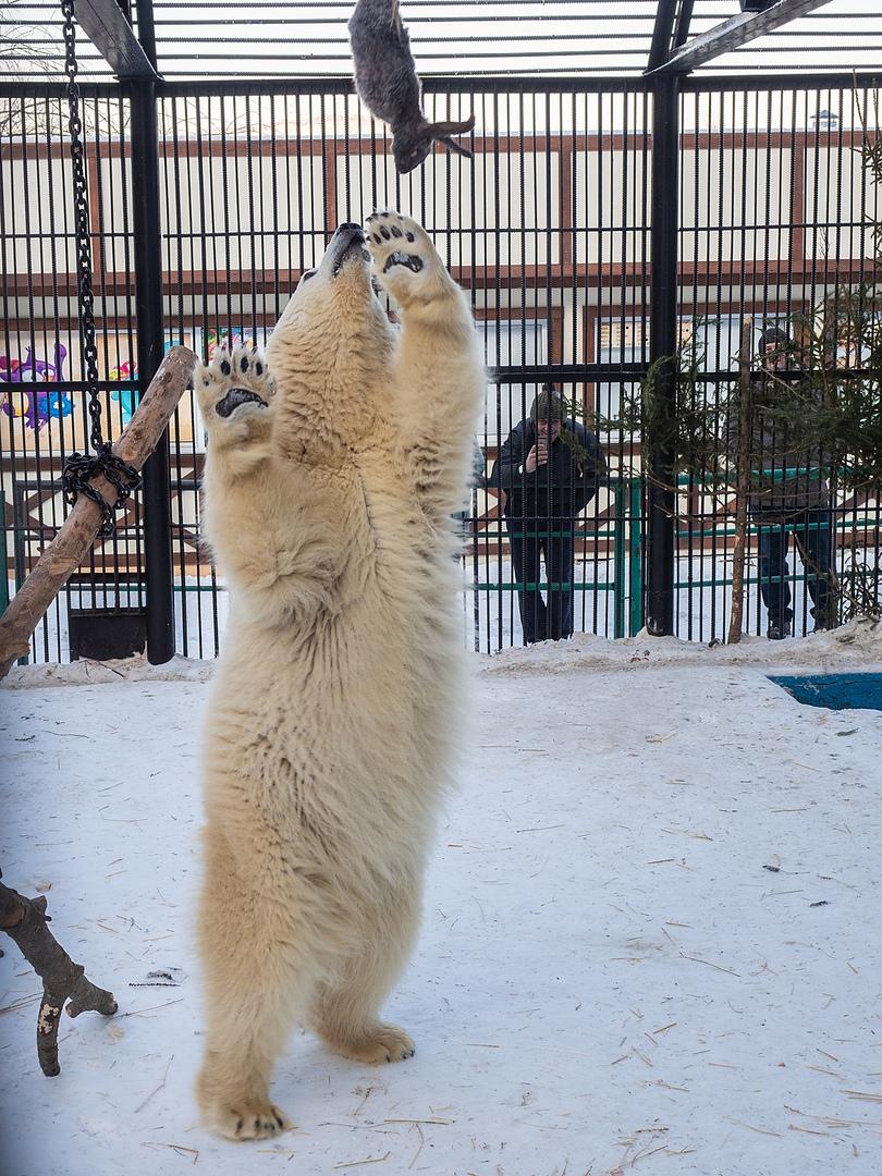 белая медведица Урсула