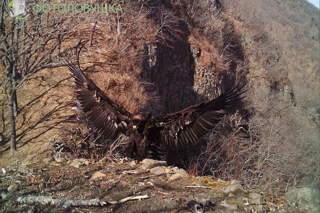 Чёрный гриф - птица редкая и загадочная.