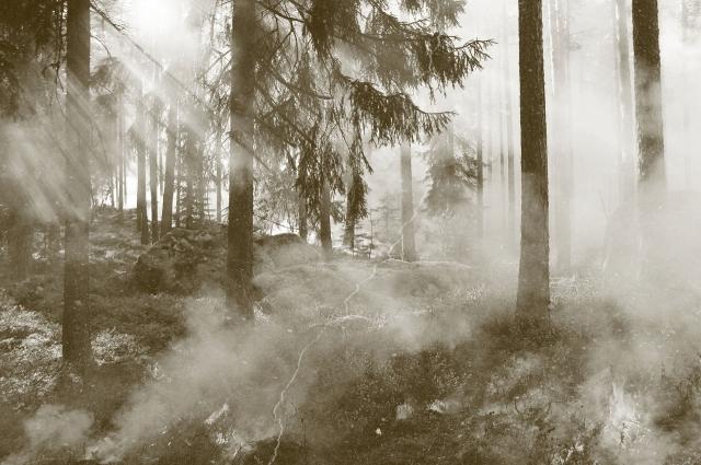 Были уничтожены огромные массивы хвойных лесов.