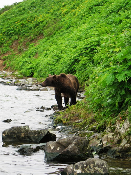 Медведи по характеру бывают разные: агрессивные, наглые, трусливые, осторожные, абсолютно инертные и безразличные к человеку.
