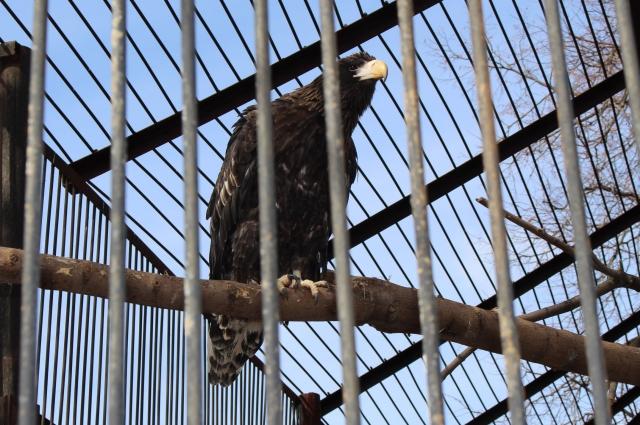 Белоплечие орланы недавно переехали к нам из Москвы.