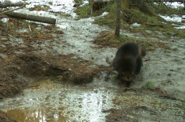 Из-за холодных зим зверь уходит с территории заповедника.