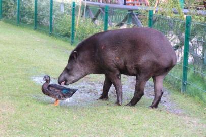Тапир и утка на прогулке.