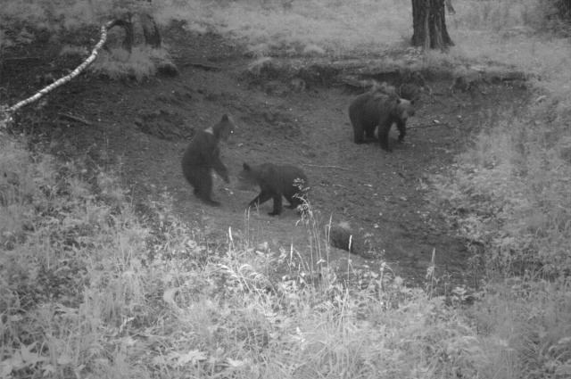 От матери медвежата отделяются только на 3 году жизни.