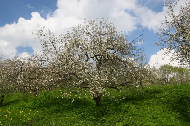 Вишневый сад в Ясной Поляне